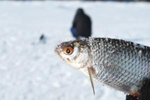 Активная ловля плотвы зимой