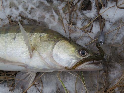 Похожа приманка Mottomo Deft Worm  на рыбу-иглу?