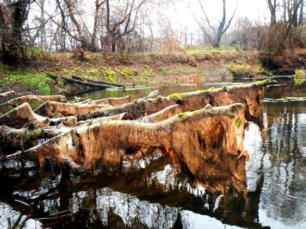 Уровень воды сильно упал, обнажив причудливые коряги