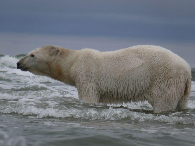 В последний раз учет популяции белого медведя проводился лет двадцать назад