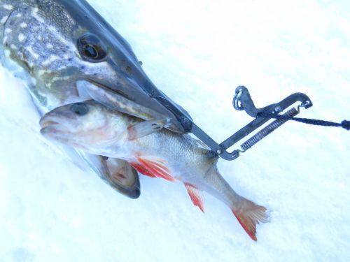 Щучий капкан не так вредит рыбе, как тройник в глотке