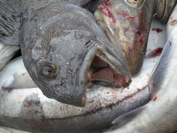 Зубатка своими челюстями способна нанести травму