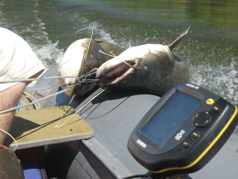 По новым правилам в Волгоградской области на Волге и Ахтубе можно ловить не более одного сома в день на человека