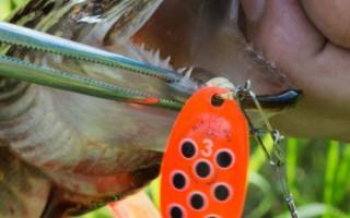 Лов щуки в водоемах Архангельской области в летнюю пору