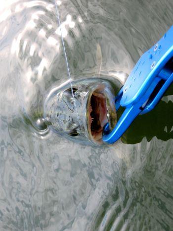 Поводок из флуорокарбона 0,5 мм оказался щуке не по зубам