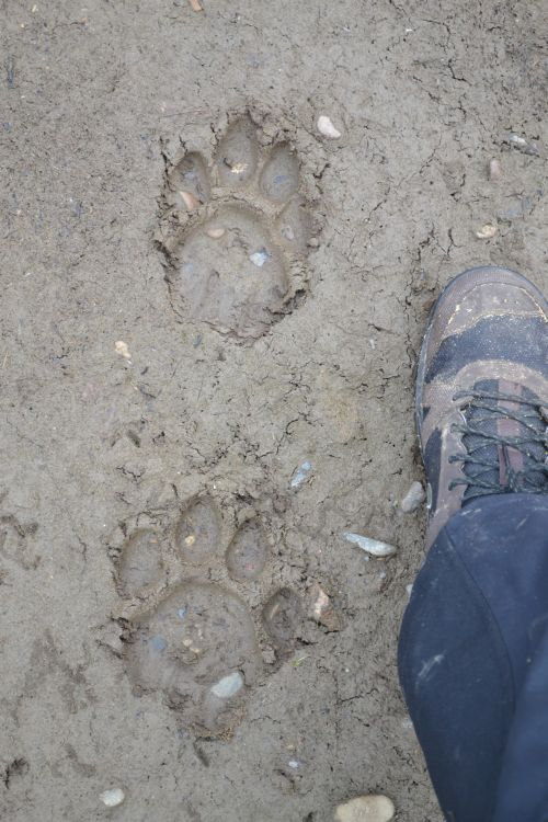 Часто по берегам встречаются свежие следы диких животных