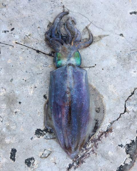 Кальмар, пойманный на Малеконе. Зимой это случается нечасто