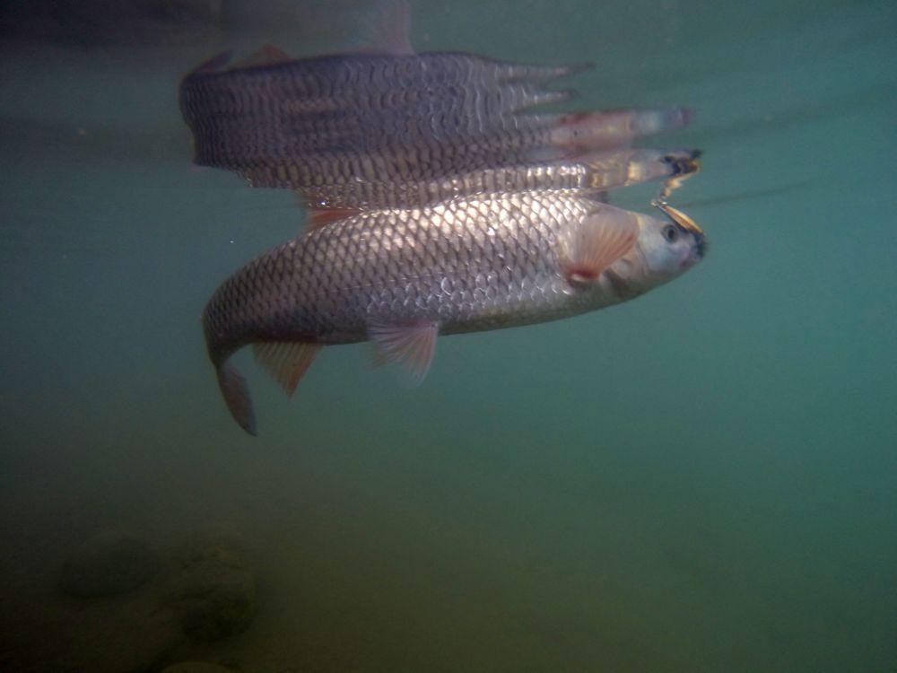 Турецкий голавль хорошо виден - вода в Тигре намного более прозрачна