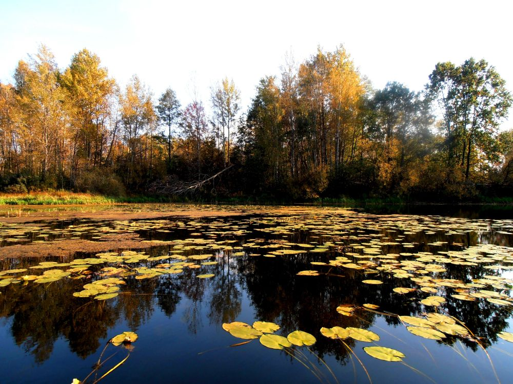 Осень, холодная вода и идеальное место для ловли на Zoe Top Blade, который прекрасно отбивается пластиной от листьев кувшинки