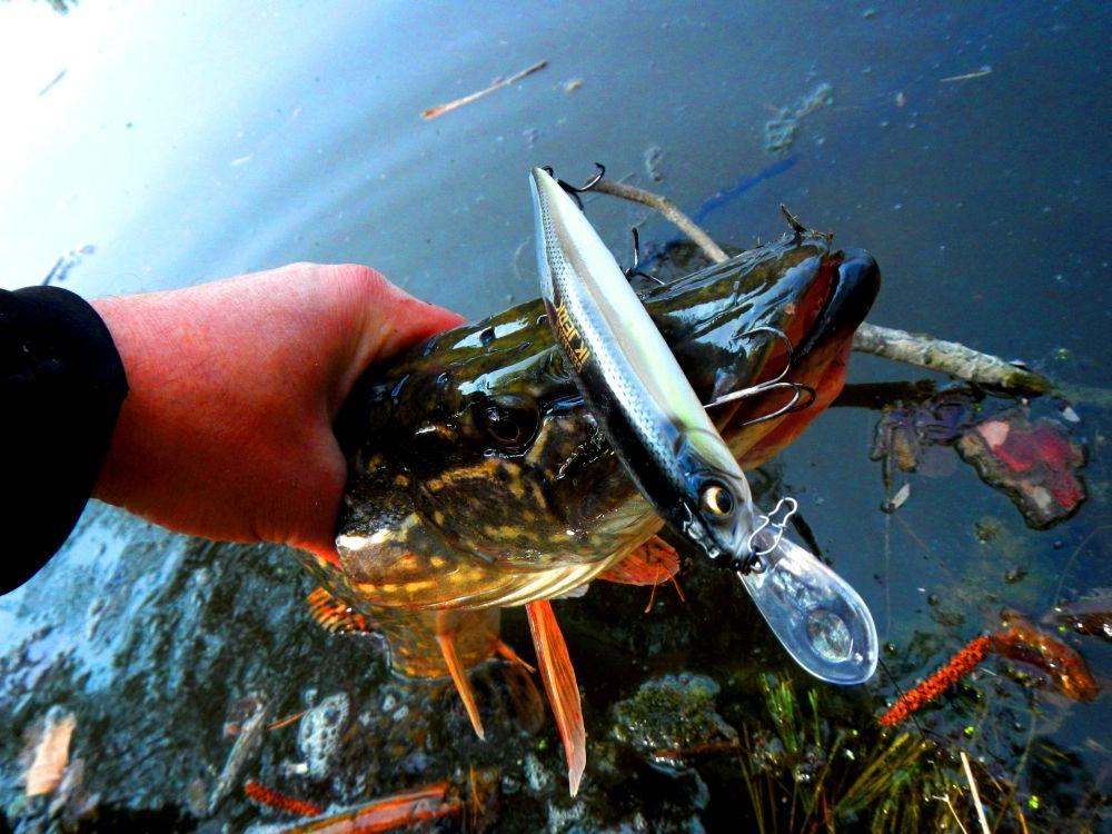 Хищник чаще всего стоит на бровке, где глубоководник начинает тыкаться лопастью в грунт