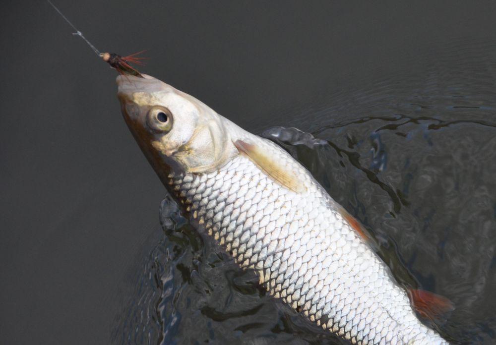 Маленькая «нимфа» соблазнила несговорчивую рыбу