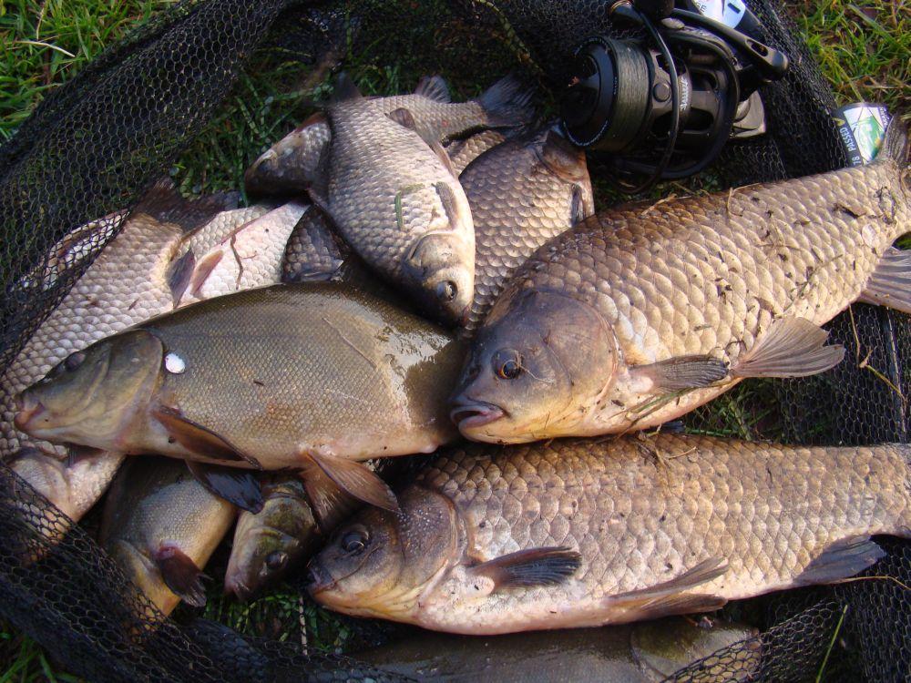 На мелководье выходят кормиться не только караси, но и лини