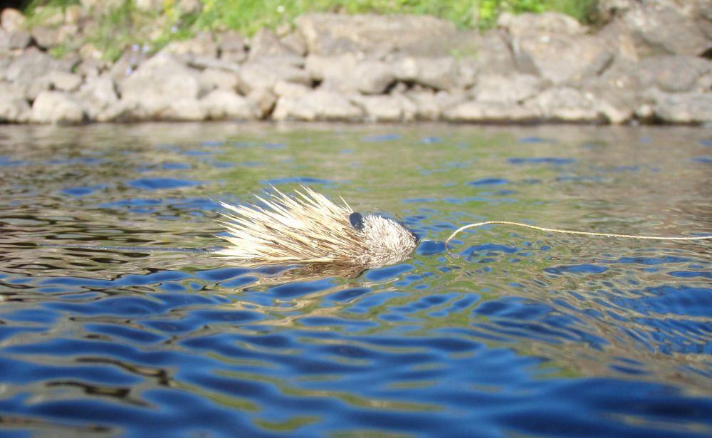 Мушка», копирующая мышь – одна из любимых для щук в Мурманской области