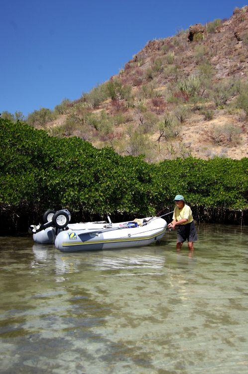 Вдоль мангровых зарослей часто хищничает крупняк