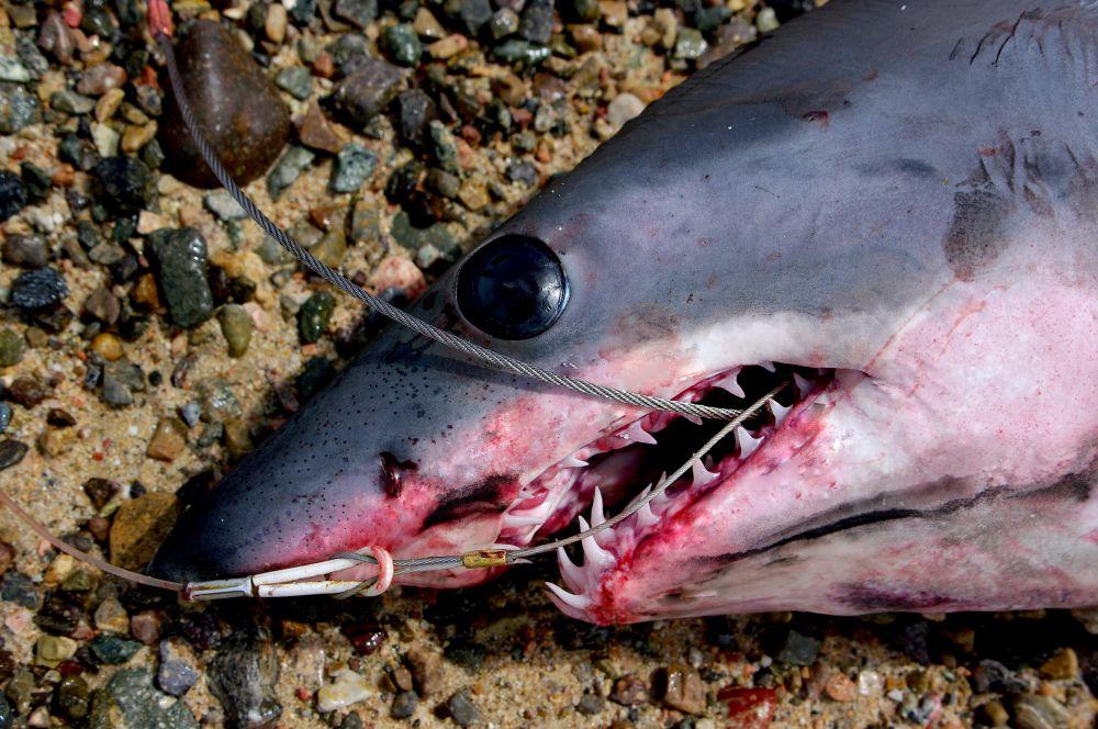 Акульи зубки и кожа – главные враги ПВХ-лодочки