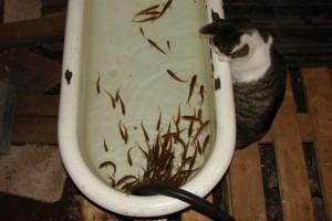Как сохранить живцов между рыбалками