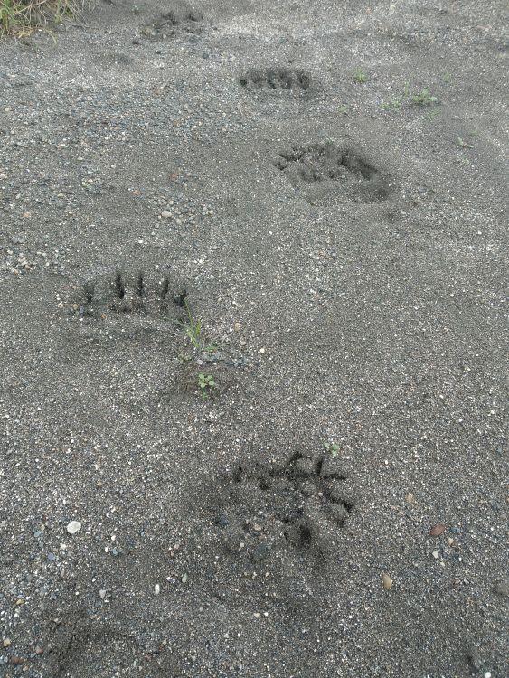 …но их следы вокруг лагеря держали нас в тонусе