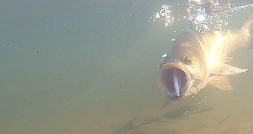 Скриншот с моего видео: четко виден стикбейт в пасти у рыбы, но совершенно не заметно флуорокарбонового поводка