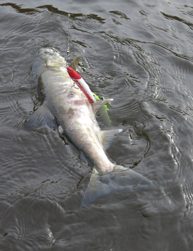 Проходной лосось – кета. Вот на чём растут таймени