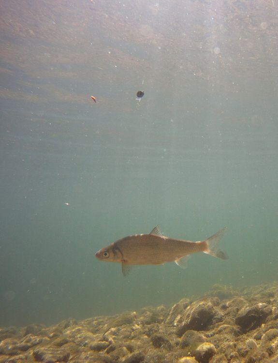 Рыбец увидел предложенную наживку