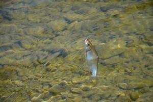 Малый рыбец в горных реках