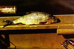 Рыба пошла на нерест