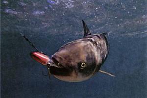 О боковой линии рыб и инфразвуковой локации