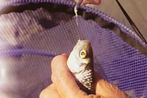 Плотва и подлещик. Скоростная ловля мелкой и средней рыбы