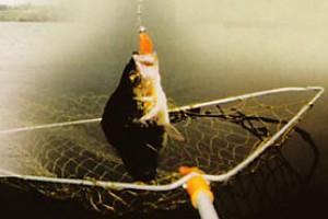 Ловля окуня на Куршском заливе
